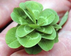 21 Leaf Clover from Japan