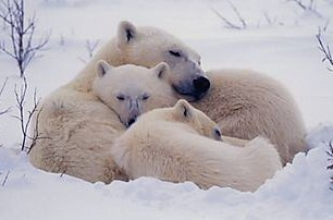 Polar Bear Snuggle
