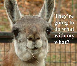 A slightly worried llama
